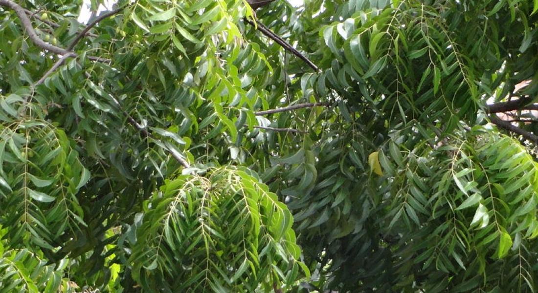 Arborele Neem – pentru o piele sănătoasă